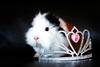 Maya (Mariie76) Tags: animaux cobaye cochon dinde noir blanc marron tricolore poils abyssinien rosette texel rex mignon princesse diadème diamants brillant belle