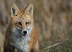 Foxy (Guy Lichter Photography - 4M views Thank you) Tags: canon 5d3 canada manitoba hecla wildlife animals mammals fox redfox