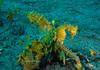 Spiny Seahorse, Hippocampus histrix, Tasik Dive Resort, North Sulawesi, Indonesia (Jeremy Smith Photography) Tags: diving hippocampushistrix indonesia jeremysmith jeremysmithphotographycouk northsulawesi scubadiving seahorse spinyseahorse tasikdiveresort tasikdivers thornyseahorse
