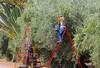 OLIVE WORKERS MENARA MARRAKESH (Honevo) Tags: oliveworker olivetrees olive honevo hönevo menara marrakech workers