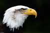 Regal Eagle (PeteWPhotography) Tags: bald eagle regal dark detail sharp eye