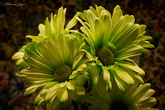 Green Daisy Pair 0108 Copyrighted (Tjerger) Tags: beautiful beauty bloom blooming brown bunch closeup daisies daisy flower green group macro petals plant portrait winter wisconsin darkbackground