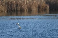 Touch of elegance (dfromonteil) Tags: cygne swan white blanc lac lake water eau roseaux winter hiver light sunlight lumière nature animal oiseau bird beauté beauty elegance élégance majestueux