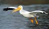 LakeChabot_123116_223 (kwongphotography) Tags: lakechabot castrovalley birds calif americanwhitepelican pelican wildlifephotography nature naturephotography wildlife birdsinflight unitedstates