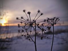 Angelica archangelica ssp. litoralis (pikkuanna) Tags: oulu 2017 meri sea ranta shore lumi snow
