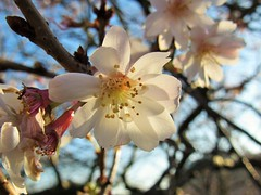 """ Pretty tree blossom "" (seanwalsh4) Tags: sean walsh bristol nice pretty cute bursting flowering 7dwf fridayflora nature white"