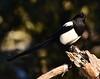 Quizzical Corvid. (ebeckes) Tags: blackbilledmagpie corvid bird