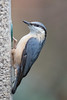 Nuthatch on Feeder (queeny63) Tags: elements