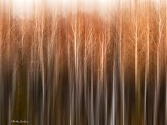 _B081576 Winter Trees (Explored) (Charles Bonham) Tags: fallcolor fall leelanauco leelanaupeninsula november birches olympusep1 impressionism minimalism motionblur sun charlesbonhamphotography linear
