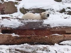 Vera - Charlotte - Eisbären - Tiergarten Nürnberg (ElaNuernberg) Tags: eisbärvera eisbärcharlottealiaslottchen tiergartennürnberg nurembergzoo zoo zooanimals zootiere eisbär polarbear orsopolare ourspolaire ijsbeer jääkaru ursusmaritimus niedźwiedźpolarny