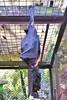 IMG_4903 20160721_104353 (JoStof) Tags: indonesia java zoo animal flyingfox bandung jawabarat indonesië idn