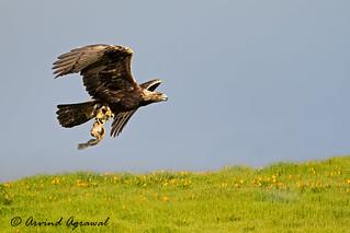 Golden Eagle - IMG_4926