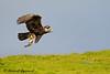 Golden Eagle - IMG_4926 (arvind agrawal) Tags: explored flickrexplore goldeneagle eagle bird rodent squirrel wildlife predation birdinflight raptor birdofprey hills green flowers