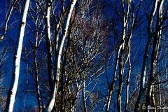 170115-IMG_0909 (Rocco Fanello) Tags: landscape paesaggio alberi betulle cielo albero rami ramo