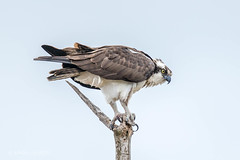 Osprey Explored 11/1 (Linda Martin Photography) Tags: pandionhaliaetus ottawa wildlife osprey nature rideauferry birds ontario animals rideaucanal rideaulake canada rideauriver coth ngc coth5 npc