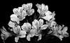 Alstro Bright (lclower19) Tags: alstromeria black white bw flower flora sb600 grid