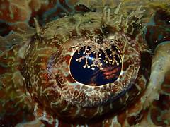 EyE SpY (MerMate) Tags: lace flathead cois wetpixel dpg fins green crocodilefish flatfish olympus indonesia ambon portraits spy eye macro diving scuba underwater