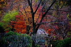 Autumn Peaks (tez-guitar) Tags: autumn autum 紅葉 autumn leaves tree trees wood forest garden park architect machida 町田 machida pentax pentaxart