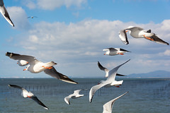 DSC_6824.jpg (kTomoyuki) Tags: 鷗 鴎 seagull カモメ かもめ 熊本市 熊本県 日本 jp