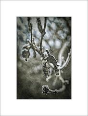 _DSF4531-Edit-Edit-Edit-Edit-Edit-Edit.jpg (Mikec77) Tags: woodcutprintstyle honeysuckle frost woodcut