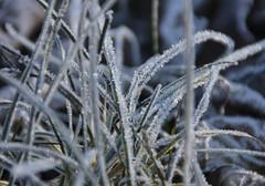 Herbes givrées - Ice-cold herbs (Kaya.05) Tags: plante nature cold froid hiver bokeh extérieur outdoor givre cristaux canoneos5dsr hautesalpes france soleil matin lumièrenaturelle gelée bokehlicious bokehwhores flickrunitedaward ngc