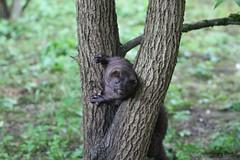 Vison d'Amérique (Passion Animaux & Photos) Tags: vison amerique american mink parc auxois france
