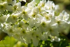 Hydrangea quercifolia 'Snow Flake' (Yorkey&Rin) Tags: macro japan spring may olympus kanagawa  rin kawasaki inmygarden 2015 em5   hydrangeaquercifoliasnowflake olympusm45mmf18 pc236130