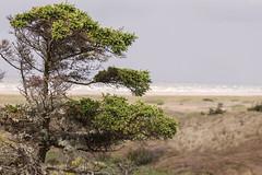 Baum in den Dünen
