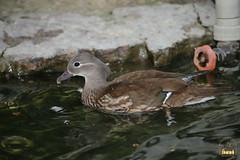 3. Mandarin ducks / утки мандаринки