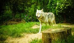DSC00273 (ifernando2) Tags: wolf wildanimal lobo