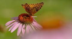 From One Coneflower (brev99) Tags: butterfly purple bokeh purpleconeflower d7100 tamron70300vc