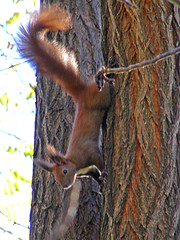 (Alin B.) Tags: wild tree animals animale squirel copac veverita alinbrotea