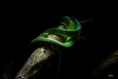 serpent arboricole (lafargenicolas) Tags: travel light nature animal photo noir reptile vert serpent animaux foret arbre branche lafoto arboricole diamondclassphotographer flickrdiamond wwwfacebookcomlafotofr