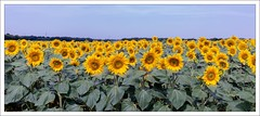 champ de tournesols - sunflowers (oudjat45) Tags: champdetournesols nikond600 nikon35mmf18fx sunflowers spiritofphotography greatphotographers theperfectphotographer flickrsawesomeblossoms infinitexposure simplysuperb sunflower twop 300favoris