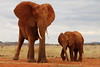 Red elephants (Vladimir Nardin) Tags: africa red elephant giant kenya east calf approaching tsavo 2015