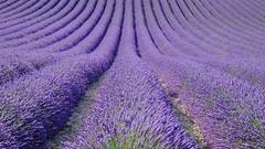 Onde parfumée ****-+O (Titole) Tags: lavande lavender purple graphics curves lines field titole nicolefaton minimalism vanishingpoint explored friendlychallenges winnerschallenge diamondsaward unanimouswinner thechallengefactory thumbsup twothumbsup yourockunanimous cy2 challengegamewinner storybookttwwinner
