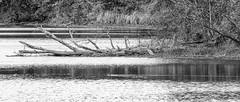 Perfect Black and White (Denzil D) Tags: blackandwhite bw lake water canon landscape duck bluecrane wildlifephotography maconmissouri canoneosrebelt2i maconlake wifespick