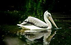 Pelican's make up (Renjith Unni) Tags: vienna wien reflection bird water swim zoo mirror makeup pelican