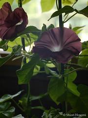 (Shiori Hosomi) Tags: flowers plants japan august   convolvulaceae 2015 ipomoea   solanales
