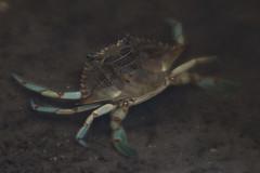 Crab (Stephen J Pollard (Loud Music Lover of Nature)) Tags: crab cangrejo crustacean crustáceo nature naturaleza fauna wildlife
