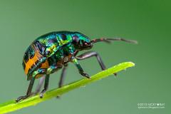 Shield-backed bug (Scutelleridae) - DSC_1243 (nickybay) Tags: macro bug singapore sungeibuloh scutelleridae sungeibulohwetlandreserve shieldbacked