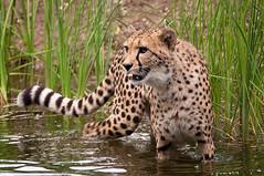 Cat In The Water (Sebastian Niedlich (Grabthar)) Tags: germany deutschland zoo nikon leipzig cheetah katze tamron gepard acinonyxjubatus d90 0715 july15 zooleipzig grabthar sebastianniedlich nikond90 leipzigzoo tamronsp150600mmf563divcusd