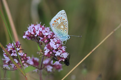 Common blue (oetrope) Tags: butterfly chalk hampshire grassland oldwinchesterhill marjoram nnr downland