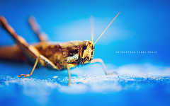 Orthoptera Caelifera (Jrme Castilloux) Tags: blue light macro water pool 35mm bug insect nikon dof natural bokeh grasshopper nikkor f18 orthoptera caelifera d40