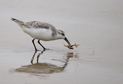 Sanderling wrestles with a crab *EXPLORE (avilacats) Tags: