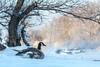 Geese at Deschenes : January 6, 2017 (jpeltzer) Tags: ottawa ottawariver winter deschenesrapids birds geese