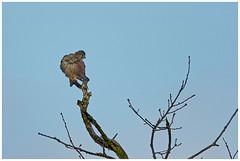 Kestrel. (vegetus aer) Tags: ramseyheights greatfen greatfenproject wildlifetrust bcnwildlifetrust nnr cambridgeshire wildlife kestrel