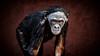 Juvenile Bonobo (Simmie | Reagor - Simmulated.com) Tags: 2016 animals bonobo connecticutphotography december florida jacksonvillezoo landscape landscapephotography nature naturephotography outdoors panpaniscus photography seascape unitedstates vacation zoo digital jacksonville