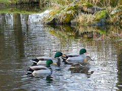 Ducks at  Achnasheen, Highlands of Scotland, Jan 2017 (allanmaciver) Tags: ducks achnasheen highlands scotland mallard colours light pond swim birds allanmaciver