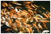 Huế (tote_nos) Tags: vietnam canon canon5d reflex viaggio trip oriente honeymoon vietnamcambodia 2016 october backpacking backpack backpacker east fish orange carp pond hue